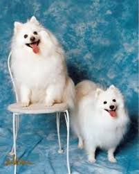pictures of a american eskimo dog american eskimo dog by briana zimmers in american eskimo dog on