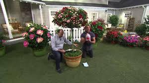 Qvc Home Decor Patio Tree Roses Artistic Color Decor Interior Amazing Ideas On