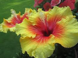 Yellow Hibiscus Flowers - free photo hibiscus flowers blossom bloom free image on