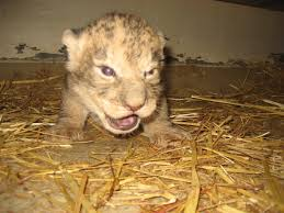 african lion cub born at dane county henry vilas zoo wkow 27