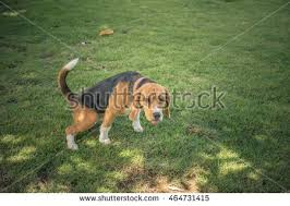 Dog Peed On Bed Dog Stock Images Royalty Free Images U0026 Vectors Shutterstock