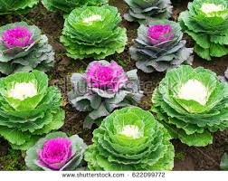 ornamental cabbage stock images royalty free images vectors