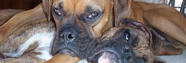 boxer dog rescue florida sunshine boxer rescue of florida loving boxers looking for a