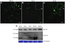 tubule guided cell to cell movement of a plant virus requires