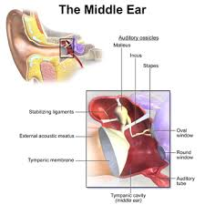 Inner Ear Anatomy And Physiology Ear Wikipedia