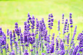lavender flowers lavender flowers flower free photo on pixabay