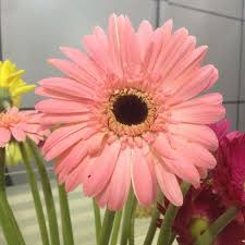 wholesale fresh cut flowers gerbera from kuming for decoration