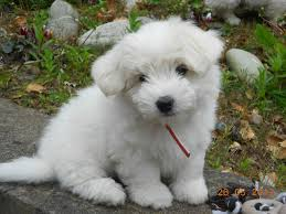 Dog Breeds That Dont Shed Uk by 94 Best Cotton De Tulear Dogs Images On Pinterest Coton De