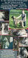 afghan hound dogs 101 7 month old afghan hound puppies with cute monkey whiskers