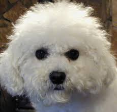 bichon frise intelligence bichon frise puppies in oregon bichon frise make great pets