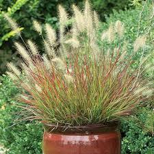 ornamental grasses sun or shade compact or