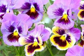 Blue And Purple Flowers Blue And Yellow Pansy Viola Stock Photo Colourbox