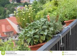 balcony herbs garden in to the pots royalty free stock photo