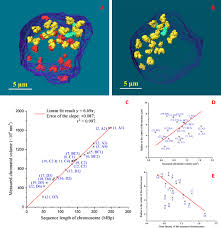 three dimensional positioning and structure of chromosomes in a