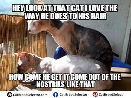Hairless Cat Meme - hairless cat memes photos funny cute angry grumpy cats memes