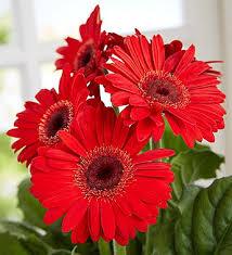 Gerbera Daisies Lucky Ladybug Gerbera Daisy 1800flowers Com 18549