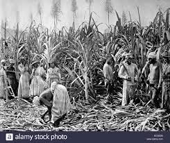 sugar cane black and white stock photos u0026 images alamy