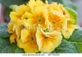 flowers international colorful primrose flowers international womens day stock photo