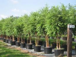 ornamental birch dura heat tree deciduous fast growing trees