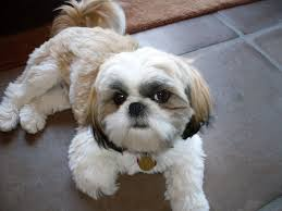 list of shih haircut from the chinese shar pei to the bichon frise petbreeds compiled