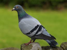 interpretation of a in which you saw pigeon