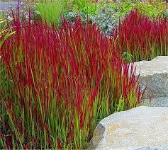 japanese blood grasses sun to part shade h 18 20 w
