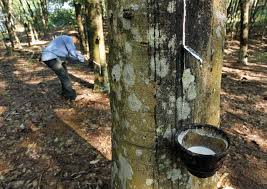 china s high hopes for growing those rubber tree plants us china