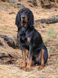 bluetick coonhound bloodlines black and tan coonhound dog breed information pictures