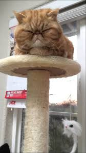 sleeping on short hair exotic shorthair cat sleeping on cat tree youtube