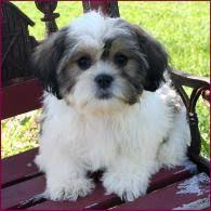 bichon frise and a shih tzu shichon puppies for sale daisy dog shihtzu mixed breed puppy iowa
