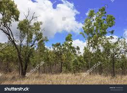 Eucalyptus Trees Australian Bush Scene Eucalyptus Trees Dry Stock Photo 145920533