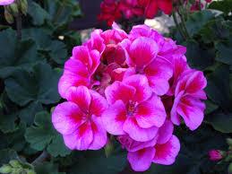 Geranium by Geranium U0027sarita Lilac Splash U0027 Annuals Pinterest Gardens And