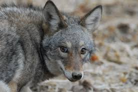 Coyote Hunting Lights Pennsylvania Coyote Hunting Faq From The Field