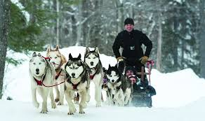 dog sled tours by green mountain mushers at stratton mountain