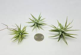 plant of the month club air plant of the month club articulture designs
