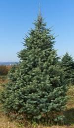 wholesale christmas trees price list brown u0027s tree farm