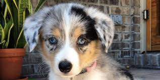 australian shepherd eskimo spitz mix 19 gorgeous corgi mixes that are almost too cute to be real