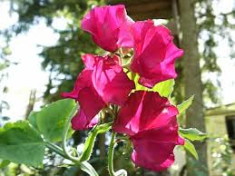 sweet peas flowers sweet peas how to grow and care for sweet pea plants garden