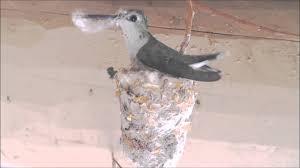 hummingbird building nest hummer helper nesting material se7021