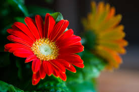 gerbera plant how to care for gerbera daisies inside home guides sf gate