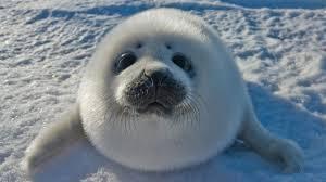 Baby Seal Meme - top 93 seal hd animal spot