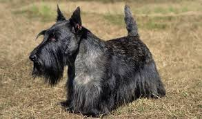 scottish yerrier haircuts scottish terrier dog breed information