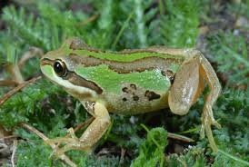 frogs surviving deadly chytrid fungus infection