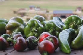 10 Tips For Growing Peppers by Growing Peppers Our Tips And Tricks To Growing A Great Pepper Crop