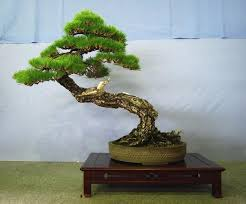 outsider japan bonsai the of tiny trees