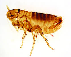 How Long Do Fleas Live In Carpet 19 Shocking Flea Facts You Need To Know To Defeat Them Pest Hacks