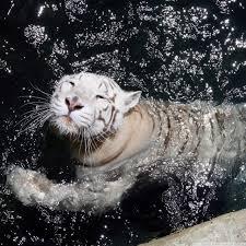 white tiger swimming 4k hd desktop wallpaper for 4k ultra hd tv