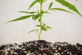 How Far Away Should Marijuana by How To Grow Cannabis With Dense Buds Rqs Blog