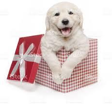 white golden retriever puppy gift box present surprise labrador