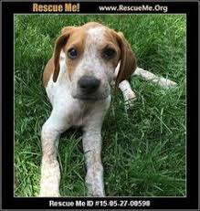 bluetick coonhound rescue illinois virginia bluetick coonhound rescue u2015 adoptions u2015 rescueme org